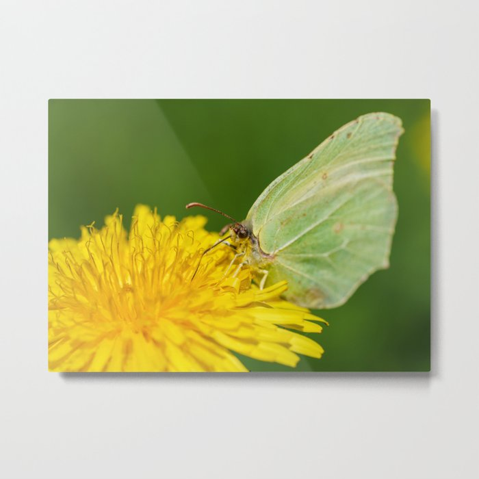 Brimstone Butterfly Metal Print