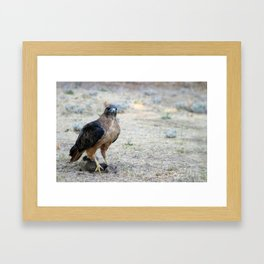Red Tailed Hawk Catch Framed Art Print