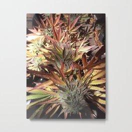 Marijuana Metal Print