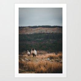 Sheeps at Connemara Art Print