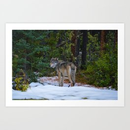 Wolf in Jasper National Park Art Print