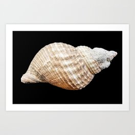 Beige Seashell isolated on black background Art Print