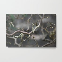 Photograph of a Contorta Hazel tree with lot's of sharp/depth elements in the foliage Metal Print