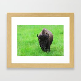 Bison in a Green Field Framed Art Print
