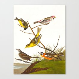 Ankansaw Siskin John James Audubon Vintage Scientific Hand Drawn Illustration Birds Canvas Print