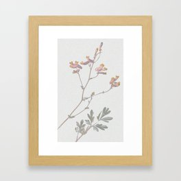 Corydalis sempervirens Framed Art Print