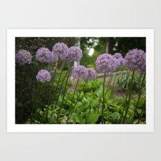 Purple Allium Ornamental Onion Flowers Blooming in a Spring Garden 3 Art Print