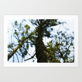Pine in the Sky Art Print