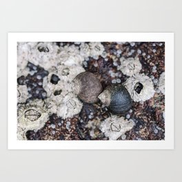 Periwinkles and Barnacles on a rock Art Print