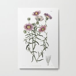 Hoary diplopappus from Edwardss Botanical Register (1829-1847) by Sydenham Edwards John Lindley and Metal Print