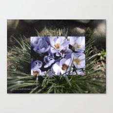 Conjuring the Crocuses in March  Canvas Print
