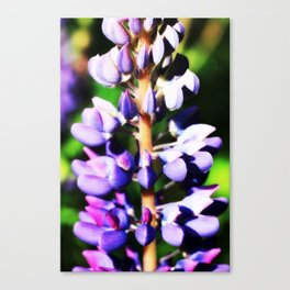 Lupine close up Canvas Print