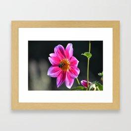 Bee on a Pink Dahlia Framed Art Print