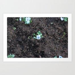 Blue Pansy Art Print