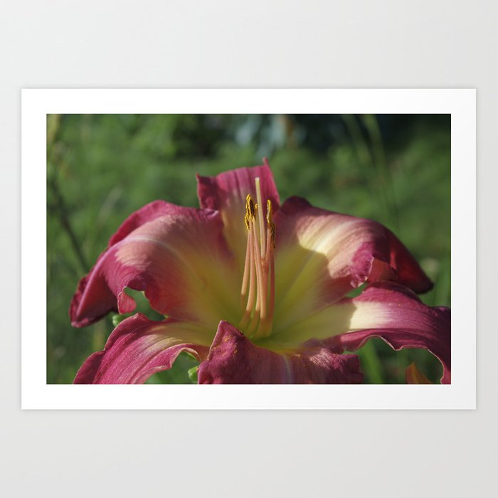 Sunrise In A Flower Hemerocallis White Eyes Pink Dragon Daylily