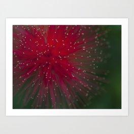 Macro photograph of the Calliandra flower. Art Print