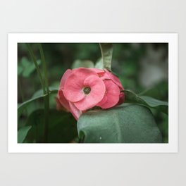 Corona de Cristo - Flower Photography Art Print