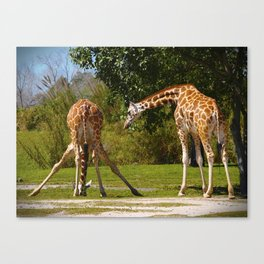 Downward Giraffe with a Friend Canvas Print
