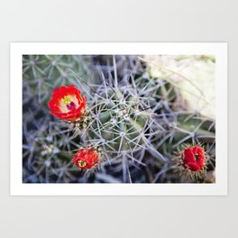 Red cactus flower Art Print