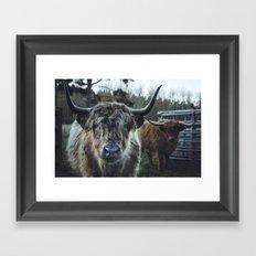 Closeup of Highland cattle cows. Norfolk, UK. Framed Art Print