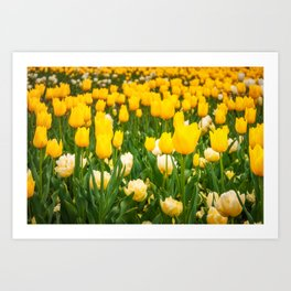 Yellow and white tulips in Canberra in Spring Art Print