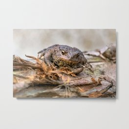 Amphibian, Common British Toad / Frog Metal Print