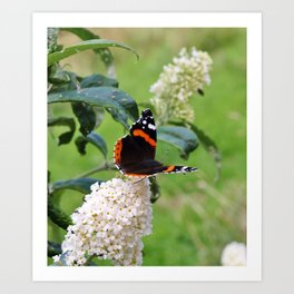 RED ADMIRAL BUTTERFLY ON WHITE BUDDLEIA Art Print