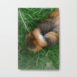 American Crested Guinea Pig Metal Print