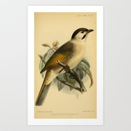 Styan's Bulbul, pycnonotus taivanus14 Art Print