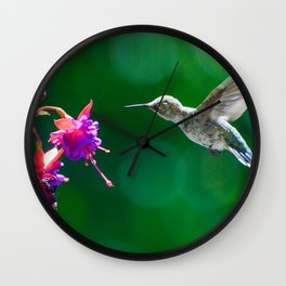 Anna's hummingbird visits our fucsias! Wall Clock