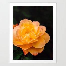 Blooming Strike It Rich Yellow Rose in Summer Art Print