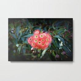 Red Flowering Gum ( Eucalyptus Ficifolia ) Metal Print