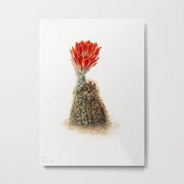 Cucumber Cactus (1939) by Mary Vaux Walcott Metal Print