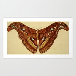 Vintage Print - Arcana or The Museum of Natural History (1811) - Atlas Moth Art Print