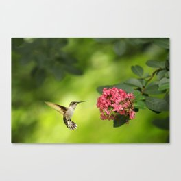 Hummer in Flight Canvas Print