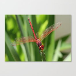 Red Skimmer or Firecracker Dragonfly Closeup Canvas Print