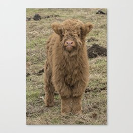 Scottish Highland baby cow Canvas Print