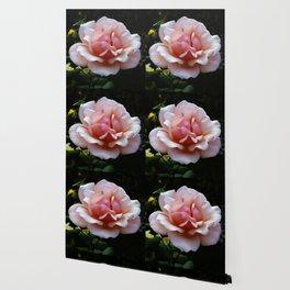 Pale Pink Rose Flower Close-up Wallpaper