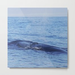 Tropical whale: The Bryde´s whale Metal Print
