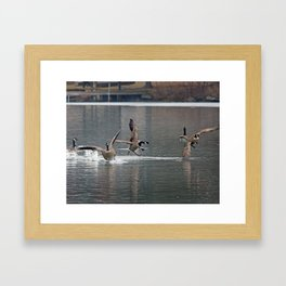 Canada geese chasing Framed Art Print