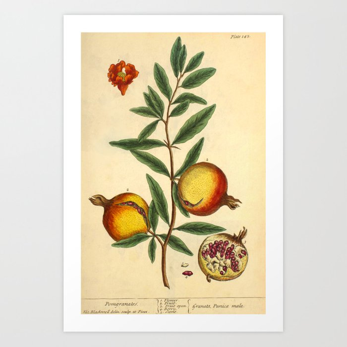 "Pomegranate by Elizabeth Blackwell from ""A Curious Herbal,"" 1737 (benefiting The Nature Conservancy) Art Print"