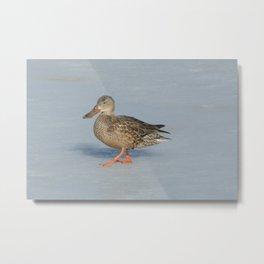 Northern Shoveler Duck Metal Print