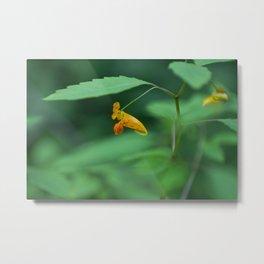 Jewelweed (Impatiens capensis) Metal Print