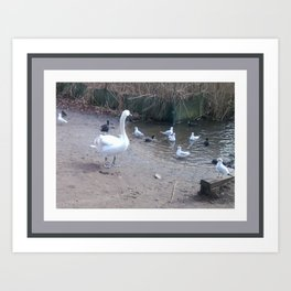 Swan with cheeky gulls and more respectful coots Art Print