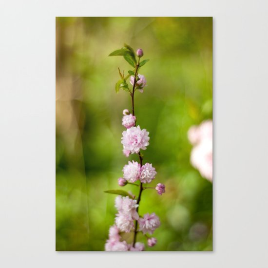 Flowering Almond Blossoms Canvas Print