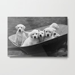Labs Puppies In A Wheelbarrow Metal Print