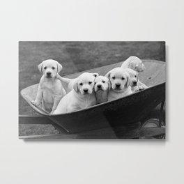 Labs Puppies In A Wheelbarrow Metal Print