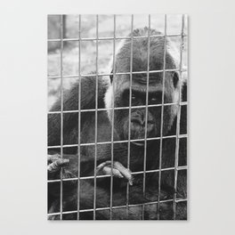 Sad Gorrilla  Canvas Print