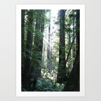 Sunbeams Through Redwoods Art Print