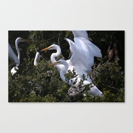 Egret Nest with Fledglings in Rookery Canvas Print